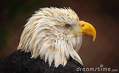 Bald Eagle Side Portrait