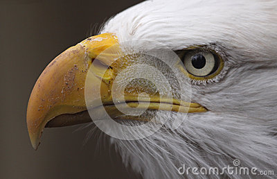 Bald Eagle Side View
