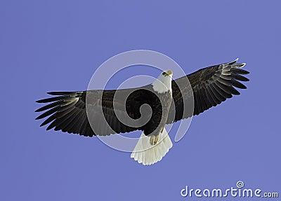 Bald Eagle soaring overhead.