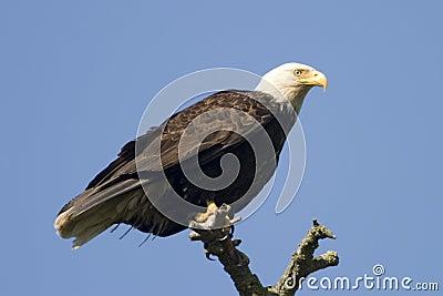 Bald Eagle On Tree