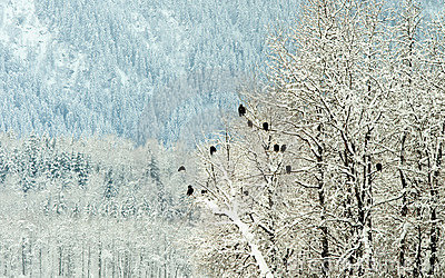Bald Eagles on trees