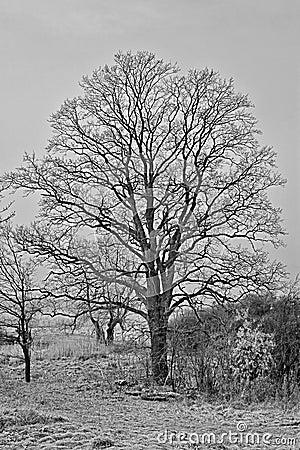 Bald Tree