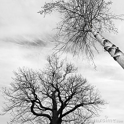 Bald trees in black and white
