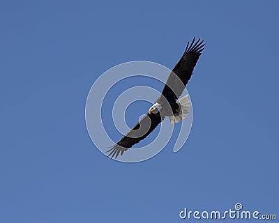 Bale Eagle (Haliaeetus leucocephalus)