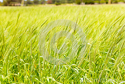Balearic green wheat field in Formentera island