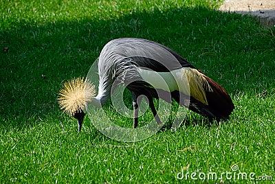 Balearica pavonina, Black Crowned Crane