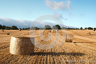 Bales of straw in the wheat fields