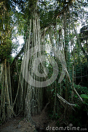 Bali Banyan Tree in tropical forest