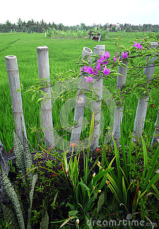 Bali garden with bamboo fence & rice fields