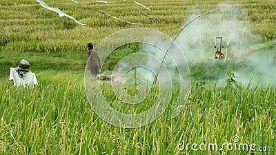 BALI/INDONÉSIE - mars 2019 : Chaume de paille de producteur asiatique et résidus et déchets brûlants de blé au gisement de riz pr clips vidéos