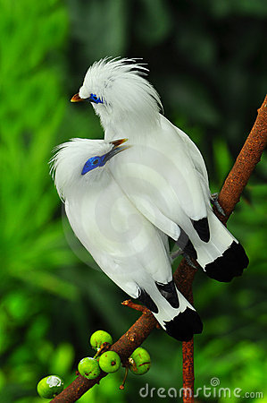 Free Bali Mynah Birds Royalty Free Stock Photo - 19107495