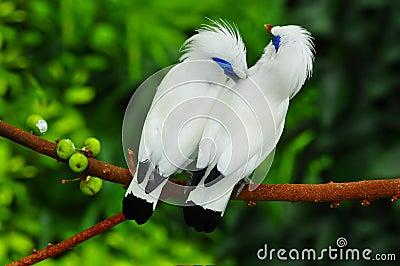 Bali mynah birds