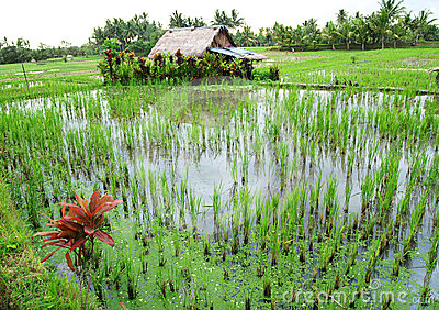 Bali rice fields with farmer house