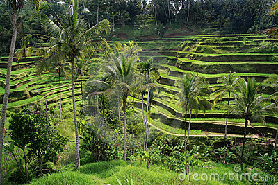 Bali rice terraces with palm trees