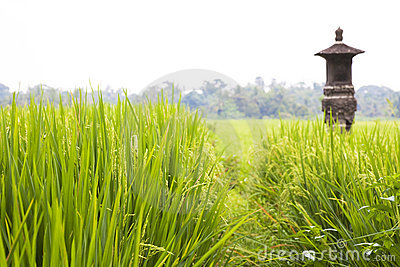 Balinese Paddy Field, Indonesia