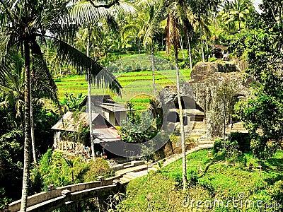 Balinese rice field6