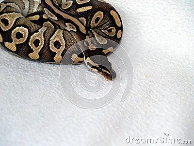 Ball python 21