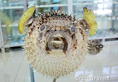 Baloon fish
