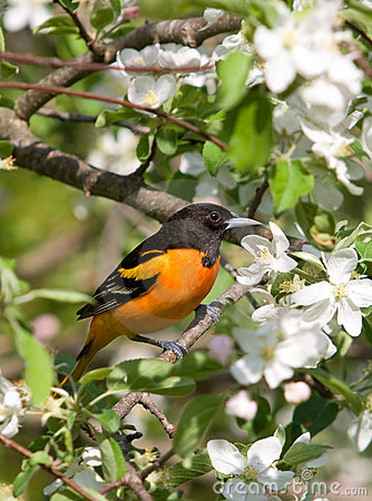Baltimore Oriole and Apple Blossoms