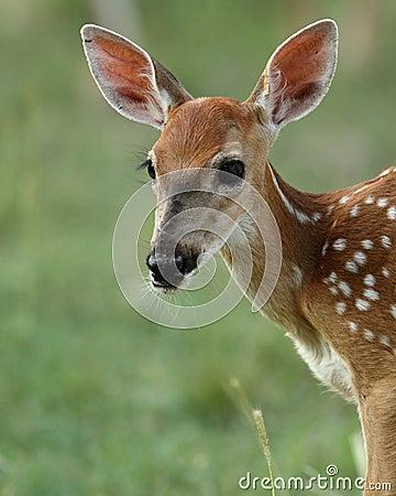 Bambi s Portrait