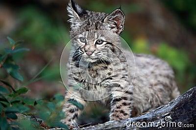 Bambino del gatto selvatico