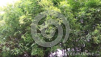 Bamboeboom Forest Blowing in het Wind en Regenonweer abstracte achtergrond stock videobeelden