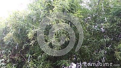 Bamboeboom Forest Blowing in het Wind en Zware Regenonweer abstracte achtergrond stock videobeelden
