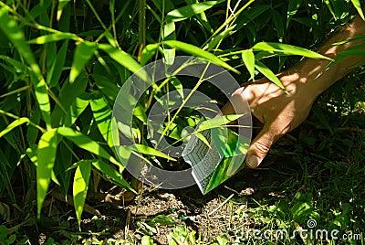 Bamboo 17