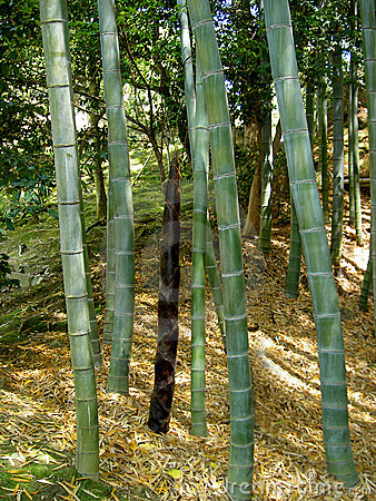 Free Bamboo Forest Stock Image - 10711