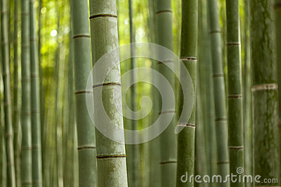Bamboo Forest Close Up