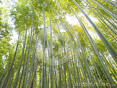 Bamboo Forest at Kyoto Arashiyama area