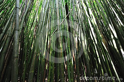 Bamboo Forest Maui, Hawaii