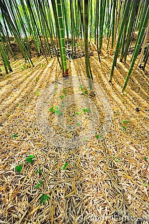 Bamboo Forest Mulch Humus