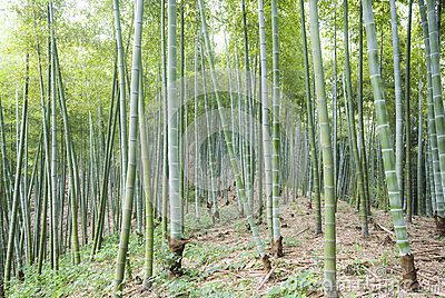 The bamboo of a forest outdoor