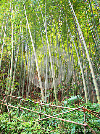 Bamboo forest border