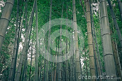 Bamboo forest in rural Japan