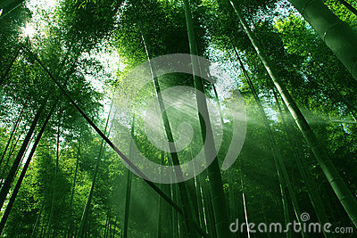 Bamboo forest  in sunshine