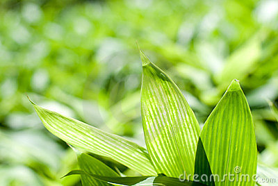 Bamboo grass leaf