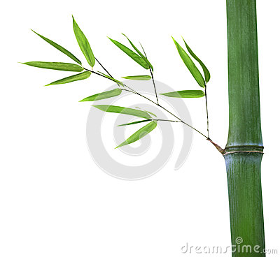 Bamboo with green branch isolated on white