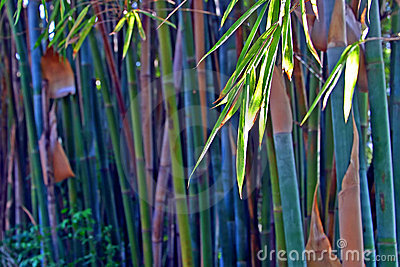 Bamboo in green color in the afternoon