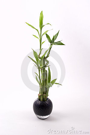 Free Bamboo In Black Vase Stock Photography - 65462