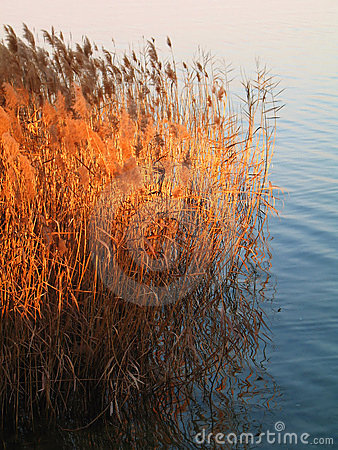 Free Bamboo In The Lake Royalty Free Stock Photo - 2075875