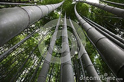 Bamboo Kyoto Japan