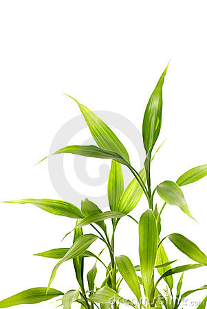 Free Bamboo Leaves Royalty Free Stock Image - 4340106