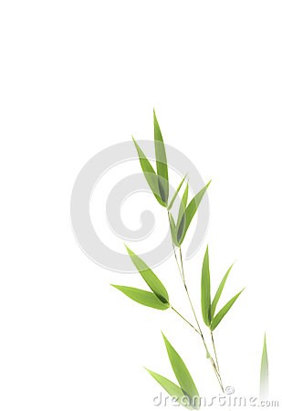 Bamboo leaves isolated