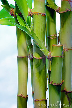 Bamboo Leaves over Cloudy Blue Sky