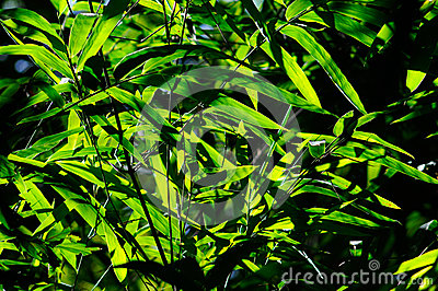 Bamboo leaves with sun light