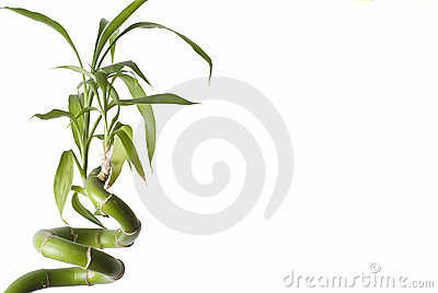 A bamboo plant.