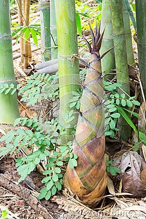 Free Bamboo Shoot Stock Photography - 55973532