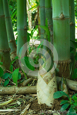 Free Bamboo Shoot, Bamboo Sprout Stock Photography - 95183452